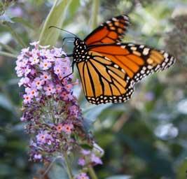 Monarch-Butterfly-Bush