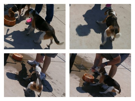 You can bring a beagle to water, but you can't make him drink.